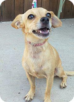 Chihuahua Mix Dog for adoption in Apache Junction, Arizona - Bambi