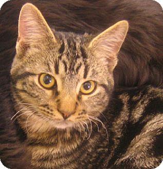 Domestic Shorthair Cat for adoption in Garland, Texas - Preston