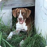 Adopt A Pet :: Hoss - Houston, TX