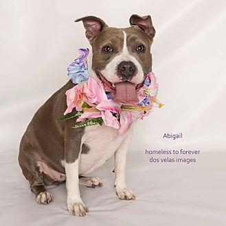 Pit Bull Terrier Mix Dog for adoption in Sherman Oaks, California - Abigail