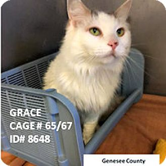 Domestic Longhair Cat for adoption in Flint, Michigan - Grace