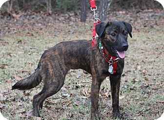 Chesapeake Bay Retriever/Dutch Shepherd Mix Dog for adoption in Columbia, Tennessee - Tessa Ann