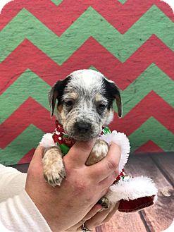 Beagle Mix Puppy for adoption in Florence, Kentucky - Lorelai