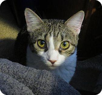 American Shorthair Kitten for adoption in Ellicott City, Maryland - .Kat