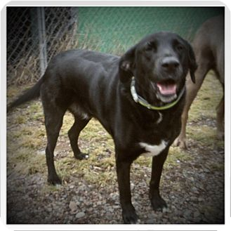 Labrador Retriever/Border Collie Mix Dog for adoption in Medford, Wisconsin - OHH-GEE