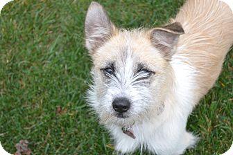 Corgi/Shih Tzu Mix Puppy for adoption in Upper Marlboro, Maryland - Bindi