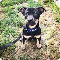 Adopt A Pet :: Baloo - San Diego, CA
