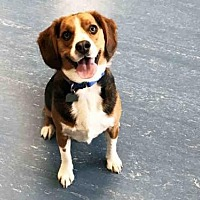 Beagle Dog for adoption in Hampton Bays, New York - TOMMY