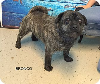 Pug/Cairn Terrier Mix Dog for adoption in Hibbing, Minnesota - BRONCO