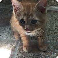 Adopt A Pet :: Marmalade - Sterling Hgts, MI