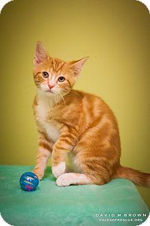 Domestic Shorthair Kitten for adoption in Circleville, Ohio - Basil