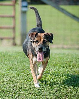 German Shepherd Dog/Labrador Retriever Mix Dog for adoption in Unionville, Pennsylvania - Cabella