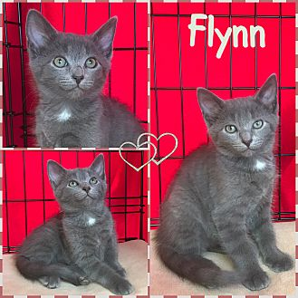 Domestic Shorthair Kitten for adoption in Jeffersonville, Indiana - Flynn