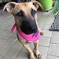Adopt A Pet :: Stevie - Austin, TX