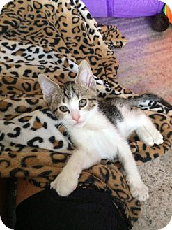 Domestic Shorthair Kitten for adoption in Indianapolis, Indiana - Figment