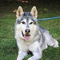 Adopt A Pet :: Nanook - Monroe, CT