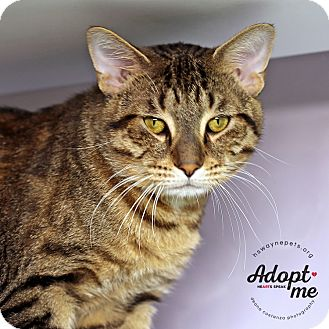 Domestic Shorthair Cat for adoption in Lyons, New York - Jake