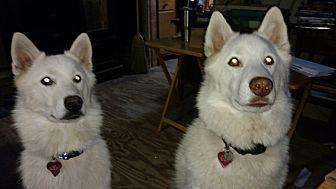 Husky Mix Dog for adoption in Winston Salem, North Carolina - Stephen and Lily