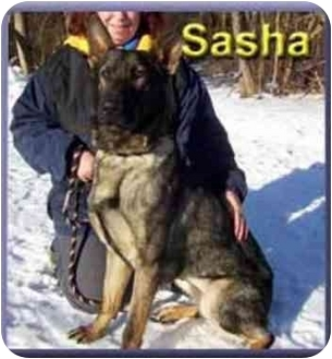 Belgian Shepherd Dog for adoption in Aldie, Virginia - Sasha