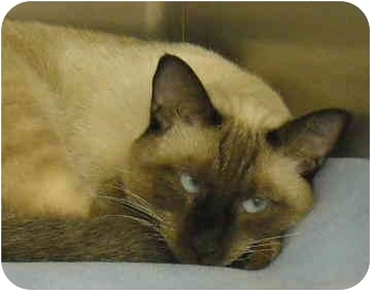 Siamese Cat for adoption in North Highlands, California - MacDougal