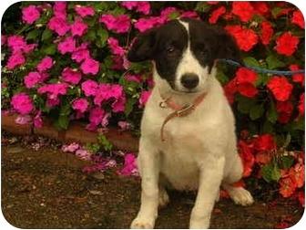 Spaniel (Unknown Type) Mix Puppy for adoption in Jackson, Tennessee - Jamie