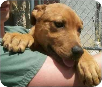 Pit Bull Terrier/Redbone Coonhound Mix Dog for adoption in Spruce Pine, North Carolina - Rusty