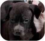 Boxer/Labrador Retriever Mix Puppy for adoption in Phoenix, Arizona - Noah - Gleek Puppy