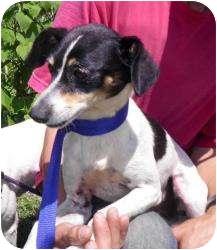 Rat Terrier/Italian Greyhound Mix Dog for adoption in Gaffney, South Carolina - Lanie