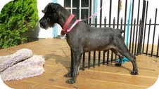 Schnauzer (Miniature) Dog for adoption in Crystal River, Florida - Aldo