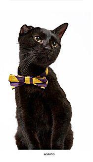 Domestic Shorthair Cat for adoption in New York, New York - Horatio