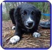 Australian Shepherd Dog for adoption in Spring Valley, New York - Grady