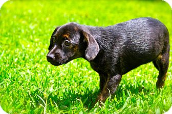 Dachshund/Chihuahua Mix Puppy for adoption in Houston, Texas - Paulina and her Super Model Si