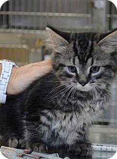Maine Coon Kitten for adoption in Cincinnati, Ohio - Maine Coon Mixes: 8 weeks