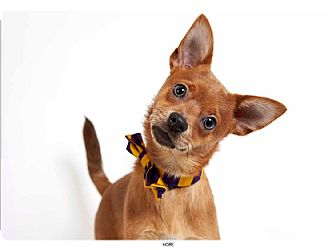 Pomeranian/Miniature Pinscher Mix Puppy for adoption in New York, New York - Hope