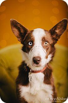 Border Collie Dog for adoption in Portland, Oregon - Monty