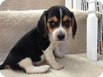 Beagle Mix Puppy for adoption in Baltimore, Maryland - Petey