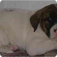 Adopt A Pet :: Hoss - Chandler, IN