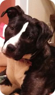 Boxer/Shepherd (Unknown Type) Mix Dog for adoption in Rochester Hills, Michigan - Martini