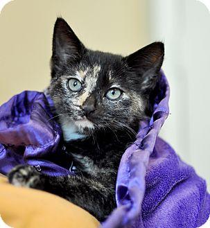 Calico Kitten for adoption in Wilmington, Delaware - Natalia