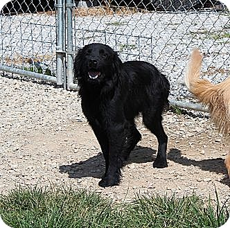 Flat-Coated Retriever Mix Dog for adoption in Knoxvillle, Tennessee - Jem