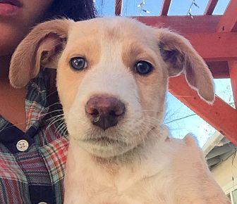 Labrador Retriever Mix Puppy for adoption in Long Beach, California - Eli