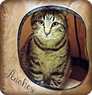 Domestic Shorthair Cat for adoption in Defiance, Ohio - Peaches