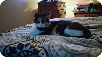 Calico Cat for adoption in Warren, Michigan - Chloe (calico)
