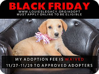 Labrador Retriever/Boxer Mix Puppy for adoption in Cincinnati, Ohio - Tillie WAIVED FEE/BLACK FRIDAY