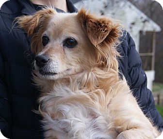 Spaniel (Unknown Type) Mix Dog for adoption in New Freedom, Pennsylvania - Goldie Hawn