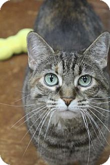 Domestic Shorthair Cat for adoption in Benbrook, Texas - Bitsy