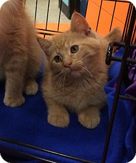 Domestic Shorthair Kitten for adoption in Wilmore, Kentucky - John Deere