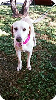 Labrador Retriever Dog for adoption in Austin, Texas - Agnes