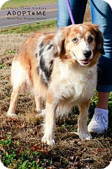 Australian Cattle Dog/Cocker Spaniel Mix Dog for adoption in Edwardsville, Illinois - Julie