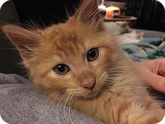 Domestic Shorthair Kitten for adoption in Jerseyville, Illinois - Pumpkin